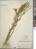 view Centaurium australis Pancic ex A. Kern. digital asset number 1
