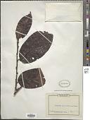 view Diospyros alboflavescens (Gürke) F. White digital asset number 1