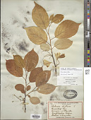 view Halesia diptera J. Ellis digital asset number 1