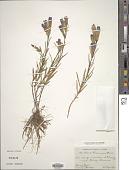 view Gentiana pneumonanthe L. digital asset number 1