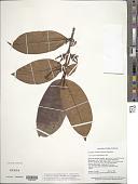 view Lacmellea aculeata (Ducke) Monach. digital asset number 1