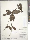 view Spigelia hamelioides Kunth digital asset number 1