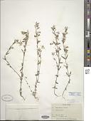view Lomatogonium rotatum (L.) Fr. ex Nyman digital asset number 1