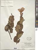 view Galactophora schomburgkiana Woodson digital asset number 1