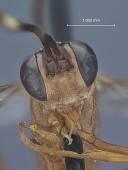 view Listrognathus (Fenestula) paludata california Townes digital asset number 1