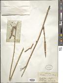 view Periploca aphylla Decne. digital asset number 1