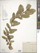 view Pachycarpus concolor E. Mey. digital asset number 1