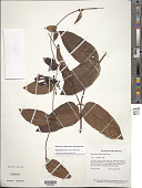 view Mesechites trifida (Jacq.) Müll. Arg. digital asset number 1