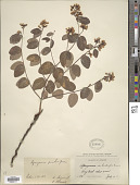 view Apocynum pumilum (A. Gray) Greene digital asset number 1