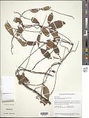 view Prestonia quinquangularis (Jacq.) Spreng. digital asset number 1