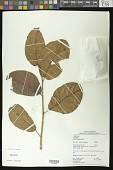 view Vasivaea alchorneoides Baill. digital asset number 1