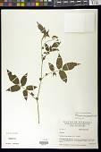 view Solanum caripense Humb. & Bonpl. ex Dunal digital asset number 1