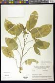 view Solanum diversifolium Humb. & Bonpl. ex Dunal digital asset number 1