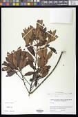 view Myrsine coriacea (Sw.) R. Br. ex Roem. & Schult. digital asset number 1