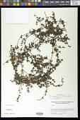view Galium hypocarpium subsp. hypocarpium (L.) Endl. ex Griseb. digital asset number 1