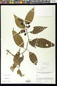 view Solanum ripense Dunal digital asset number 1