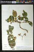 view Cyrtandra grayi C.B. Clarke x C. oxybapha W.L. Wagner & D.R. Herbst digital asset number 1
