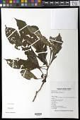 view Hoffmannia rosei B.L. Rob. digital asset number 1
