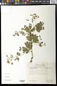 view Zapoteca formosa subsp. rosei (Wiggins) H.M. Hern. digital asset number 1