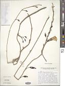 view Ipomoea triflora Forssk. digital asset number 1