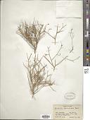 view Convolvulus leptocladus Boiss. digital asset number 1