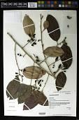 view Chrysophyllum oliviforme L. digital asset number 1