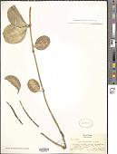 view Hoya australis R. Br. ex J. Traill digital asset number 1
