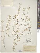 view Phlox gracilis (Douglas ex Hook.) Greene digital asset number 1
