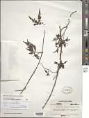 view Merremia dissecta (Jacq.) Hallier f. digital asset number 1