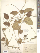 view Tylophora asthmatica (L. f.) Wight & Arn. digital asset number 1