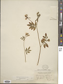 view Polemonium reptans L. digital asset number 1