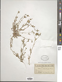 view Collomia heterophylla Hook. digital asset number 1