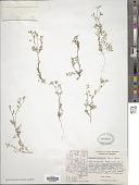 view Eucrypta micrantha digital asset number 1