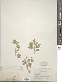 view Nemophila kirtleyi L.F. Hend. digital asset number 1