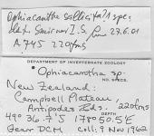 view Ophiacantha cf. otagoensis Fell, 1958 digital asset number 1