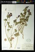 view Geranium saxatile Kar. & Kir. digital asset number 1