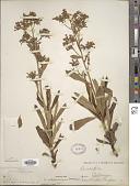 view Eriodictyon californicum (Hook. & Arn.) Torr. digital asset number 1