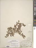 view Verbena bracteata Cav. ex Lag. & Rodr. digital asset number 1