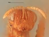 view Decatoma disholcaspidis digital asset number 1
