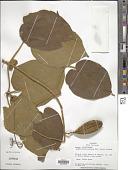 view Amphilophium pannosum (DC.) Bureau & K. Schum. digital asset number 1