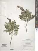 view Tecoma capensis (Thunb.) Lindl. digital asset number 1