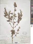view Lippia origanoides Kunth digital asset number 1