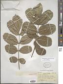 view Kigelia africana subsp. africana digital asset number 1