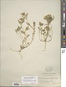 view Verbena bipinnatifida (Schauer) Nutt. digital asset number 1
