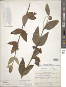 view Lantana trifolia f. hirsuta Moldenke digital asset number 1