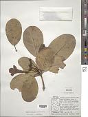 view Tabebuia pallida (Lindl.) Miers digital asset number 1