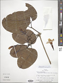 view Bignonia corymbosa (Vent.) L.G. Lohmann digital asset number 1
