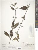 view Lantana microcephala A. Rich. in Sagra digital asset number 1
