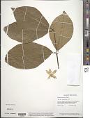 view Petrea macrostachya Benth. digital asset number 1