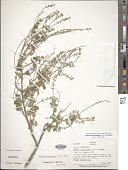 view Aloysia macrostachya (Torr.) Moldenke digital asset number 1